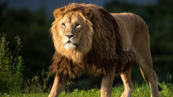 Download wallpaper with animals Big cats Lion