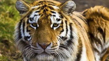 Download wallpaper with animals Tiger