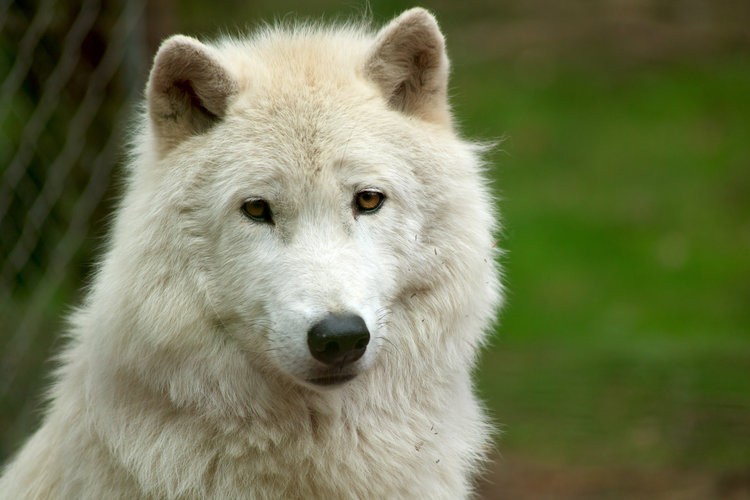 Animals Wolves download wallpaper